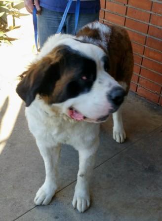 44765de857172 2016 Adopted (Placed) Saint Bernards